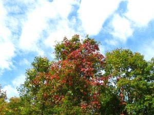山ぶどうの葉が紅く綺麗です。