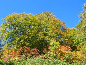 昨年よりも遅れ気味の紅葉も濃く色づいてきました。