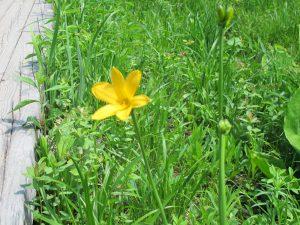 キスゲが1輪だけ咲いていました。少し遅れているようです。